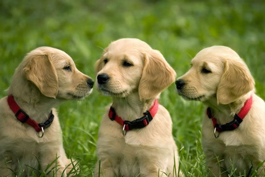 Golden Retriever İsimleri